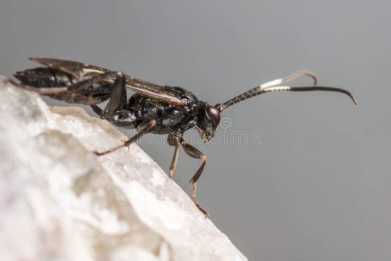 Ichneumonen Wasp (den Coelichneumon altfiolen) arkivfoto
