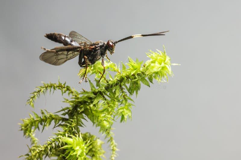 Ichneumonen Wasp (den Coelichneumon altfiolen) arkivfoton
