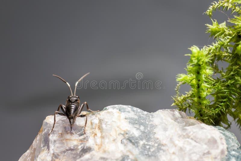 Ichneumonen Wasp (den Coelichneumon altfiolen) royaltyfri foto