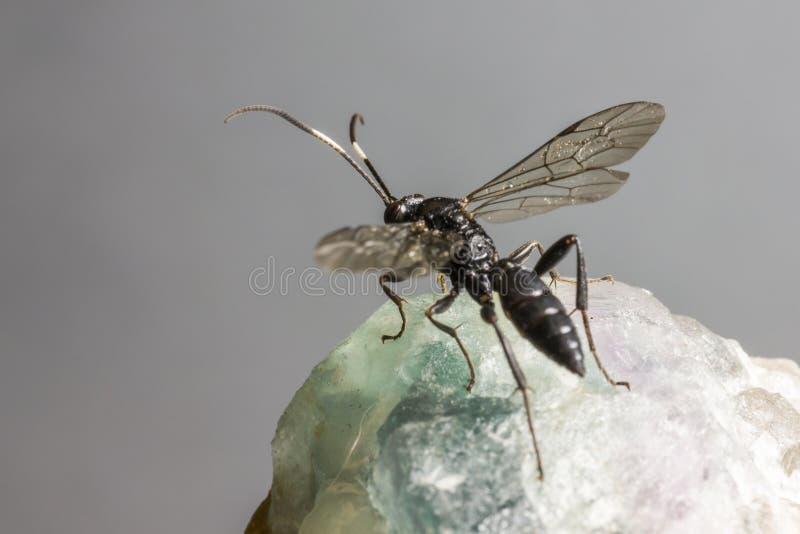Ichneumonen Wasp (den Coelichneumon altfiolen) royaltyfri bild