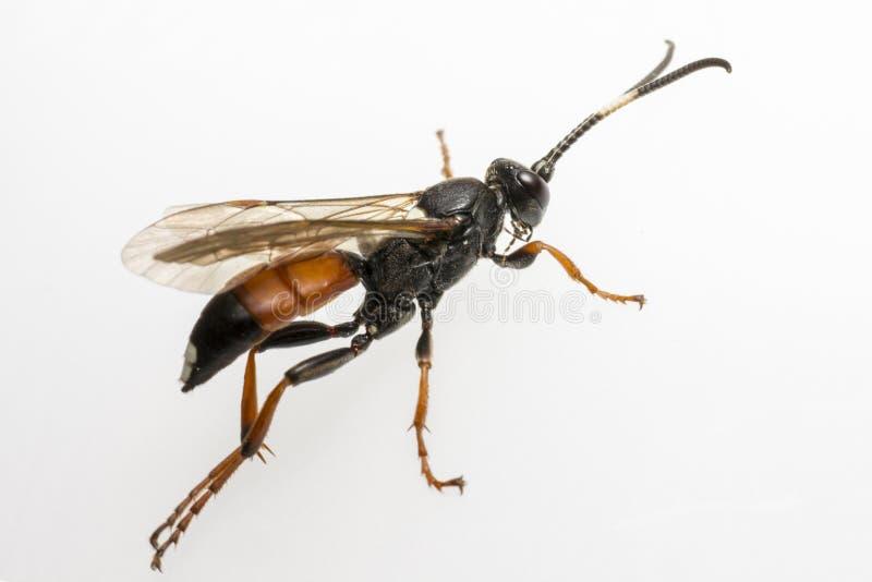 Ichneumonen Wasp (den Coelichneumon altfiolen) royaltyfria bilder