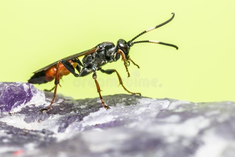 Ichneumonen Wasp (den Coelichneumon altfiolen) arkivbilder