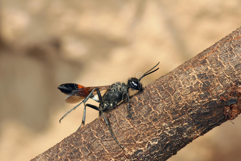 Ichneumonfluga royaltyfria foton
