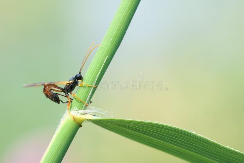 Ichneumonfluga fotografering för bildbyråer