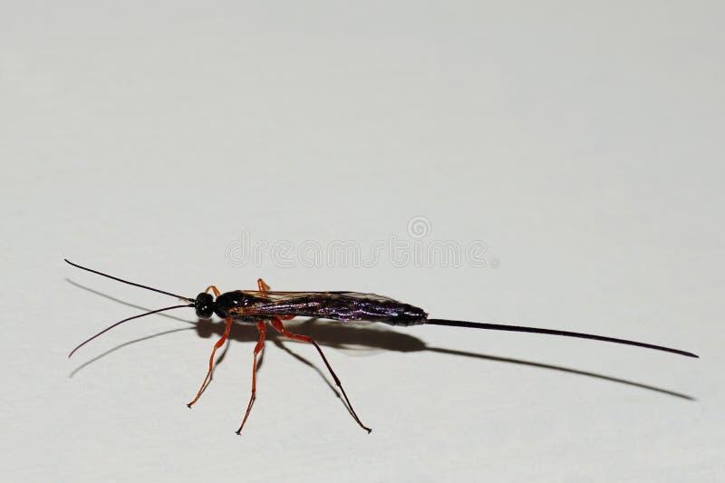 Ichneumonfluga arkivfoto
