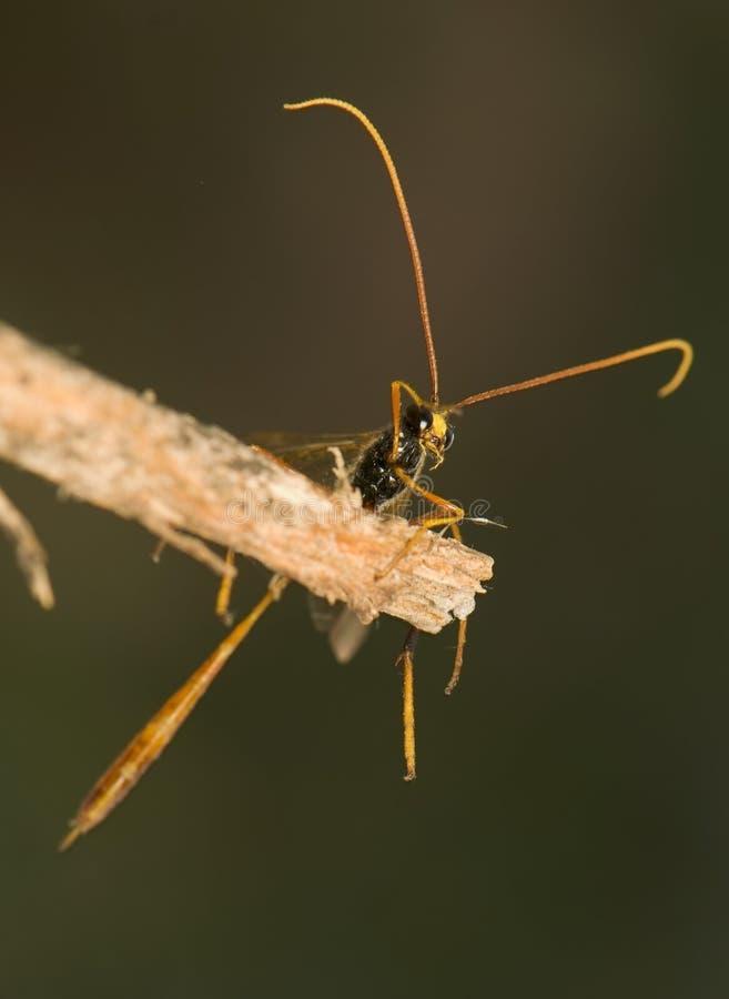ichneumonidae royaltyfri fotografi