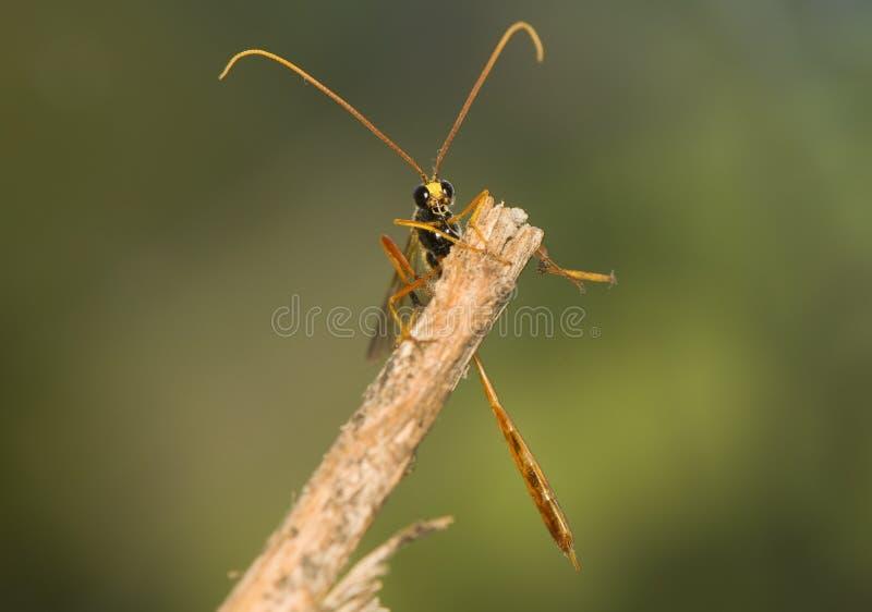 ichneumonidae royaltyfria bilder