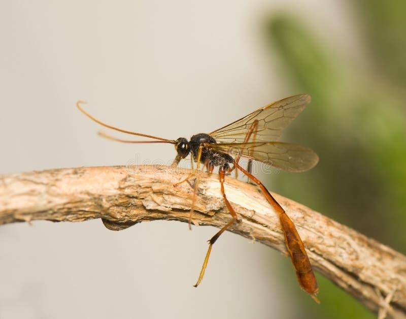 ichneumonidae arkivfoto