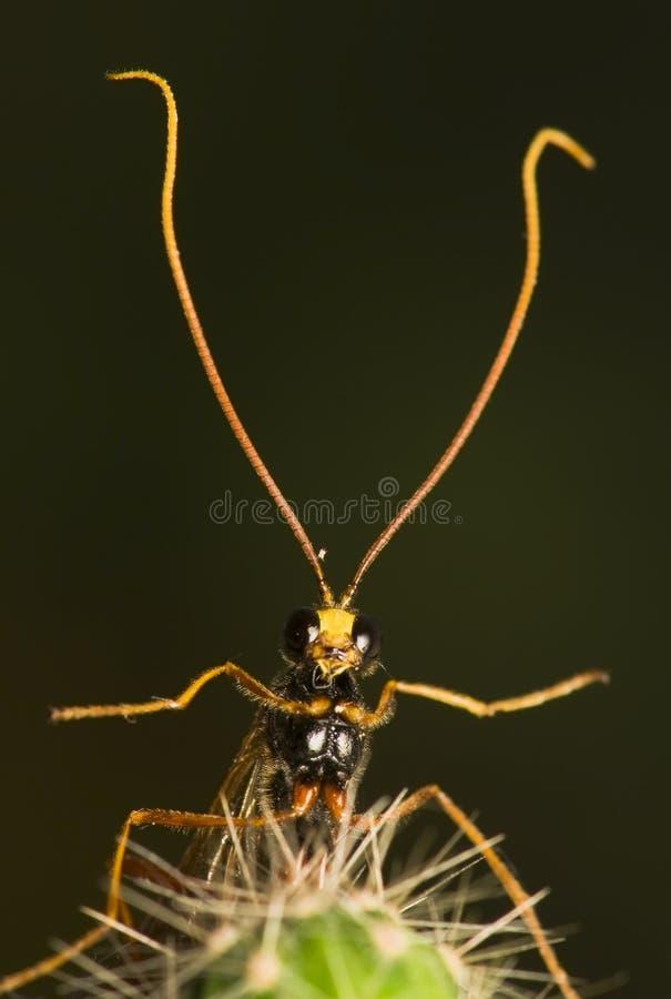 ichneumonidae arkivbild