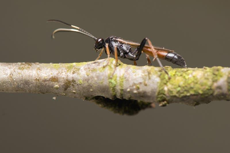 ichneumonidae royaltyfri foto
