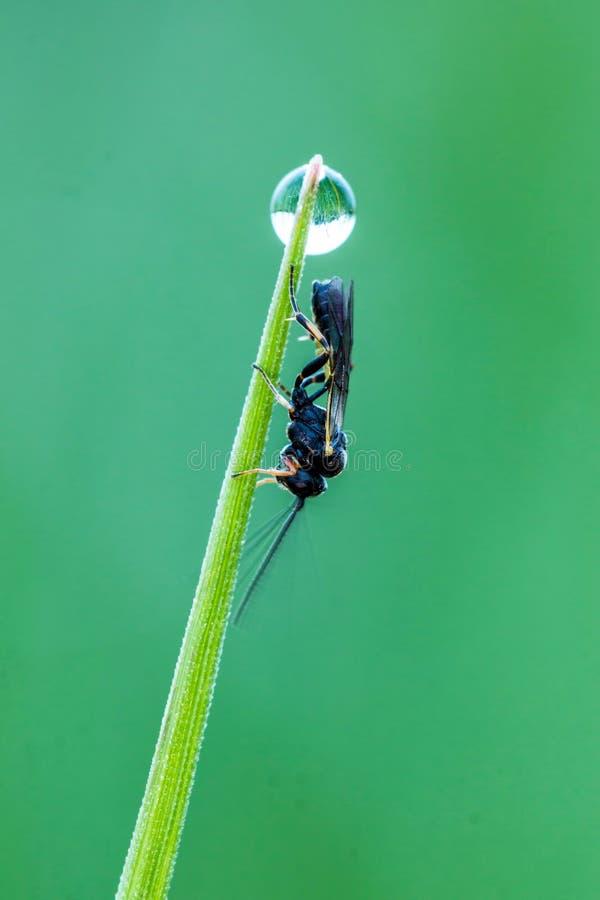 Ichneumonidae stockbilder