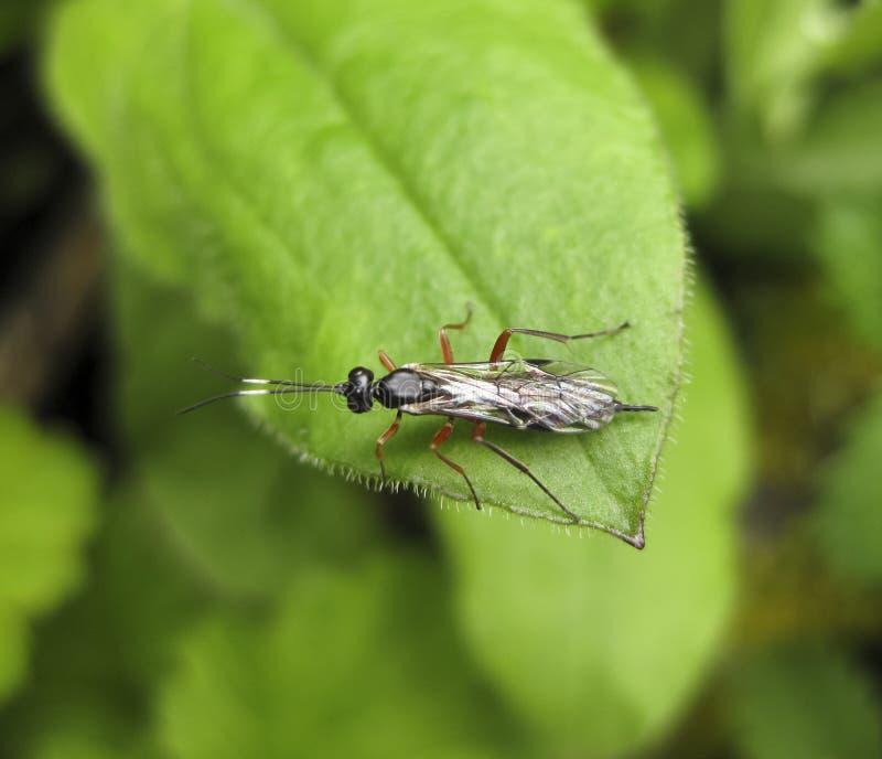 Ichneumonidae en verklig ryttare Hymenopterakryp royaltyfri fotografi