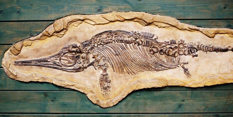 Ichtyosaurus fossil royaltyfria bilder