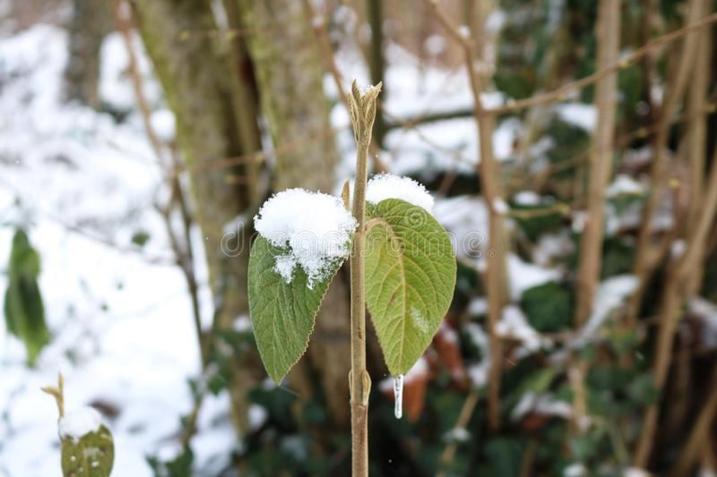 Icicle on the frozen leaves. Icicle on the frozen winter leaves royalty free stock image