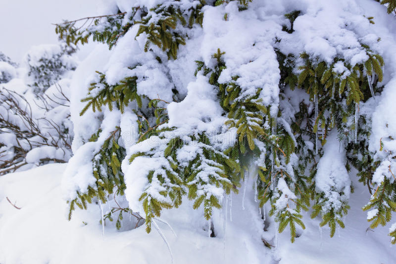 Icicles hang from snow covered branches of spruce. Christmas background. Winter landscape. royalty free stock photography