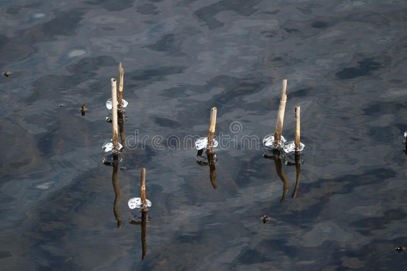 Icicles on lake. Chunks of ice remaining on some sticks as the lake water receded stock photos