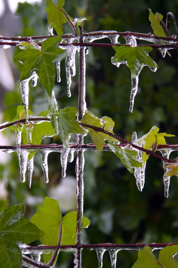 Free Icicles On Leaves Royalty Free Stock Photo - 5768105