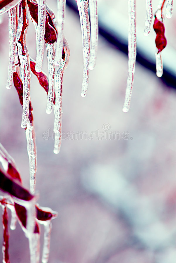 Free Icicles Over Branches Royalty Free Stock Image - 1945586
