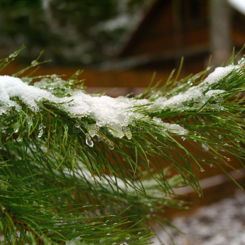 Icicles on the pine tree needles stock images