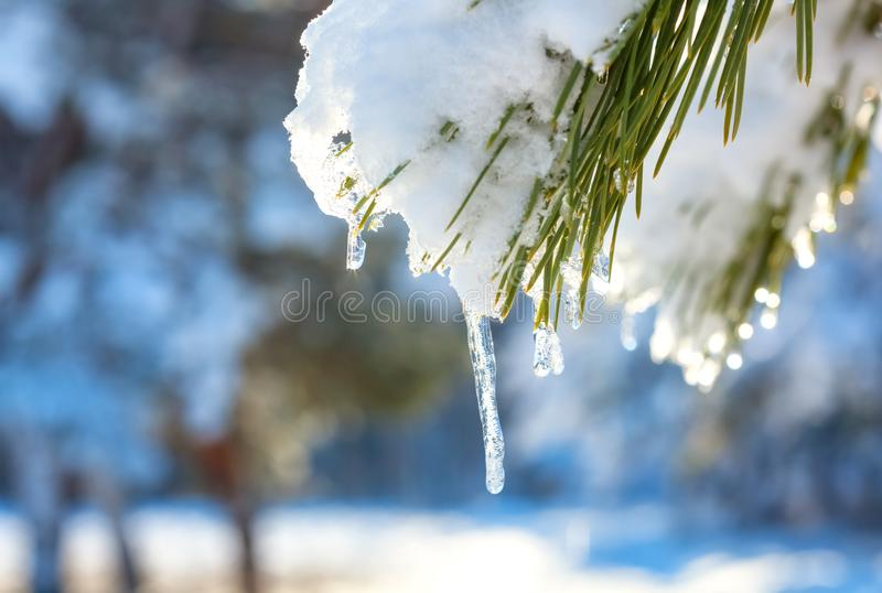 Icicles and snow melt on pine branches. In the forest. beautiful winter background royalty free stock image