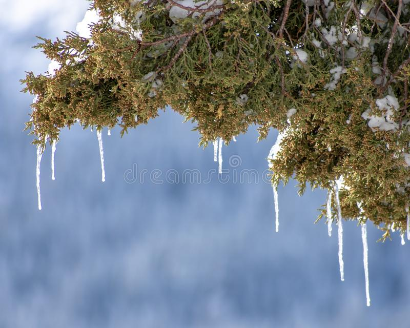 Icicles from tree branch royalty free stock photos