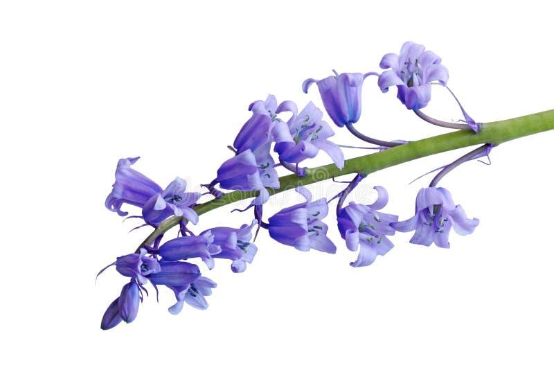 Icke--scripta blomma för Hyacinthoides arkivbild