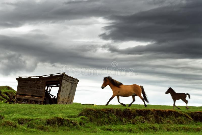 Icland horses walk across a meadow royalty free stock photography