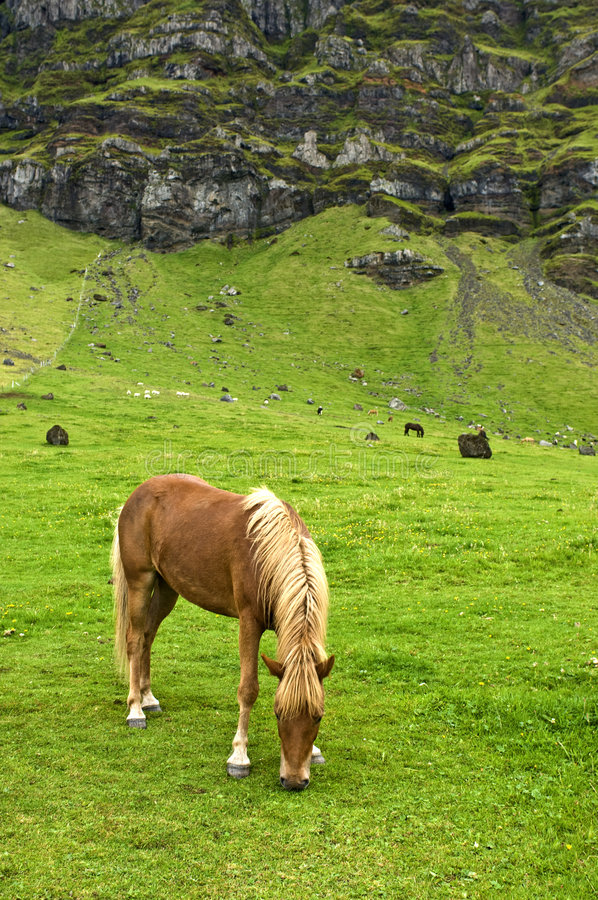 Download Iclandic horse stock photo. Image of field, iceland, horse - 6139986