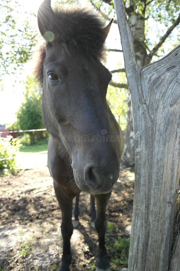 Download Icleandic horse stock photo. Image of arabian, eyes, fence - 30890098