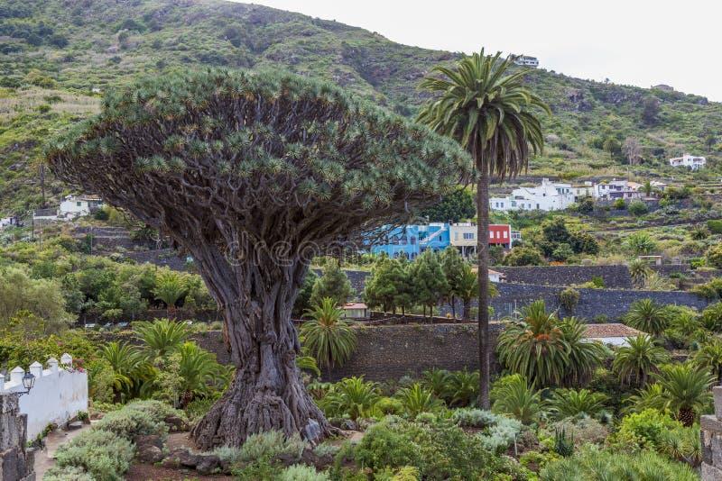 Icod España 03-05-2019 Dragon Tree y palmera milenarios viejos en Icod de los Vinos en Tenerife Islas Canarias fotos de archivo
