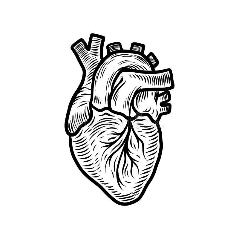 Icona anatomica dell'organo del cuore, stile disegnato a mano royalty illustrazione gratis
