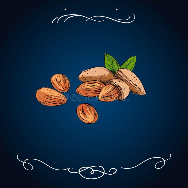 Icona Colourful della mandorla isolata su fondo Schizzo di vettore del dado realistico con le foglie Pianta tirata del vegano buo illustrazione di stock