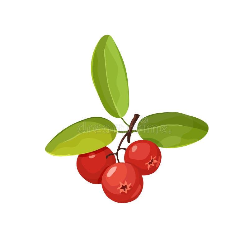 Icona del mirtillo rosso isolata illustrazione di stock