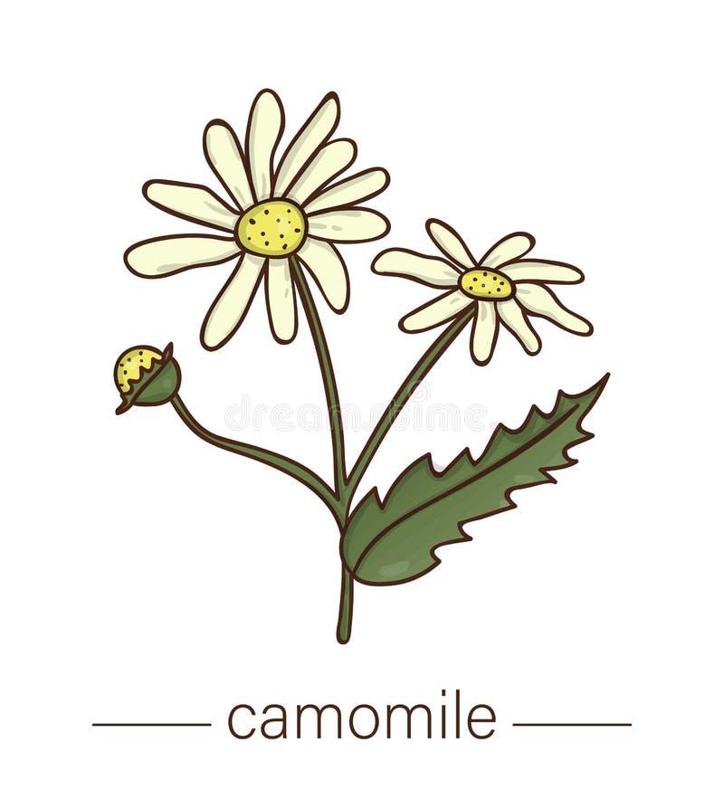 Icona della camomilla di vettore Illustrazione colorata del fiore selvaggio illustrazione vettoriale