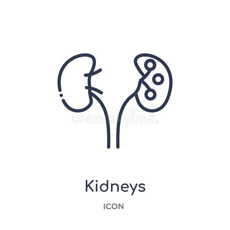 Icona lineare dei reni dalla raccolta medica del profilo Linea sottile icona dei reni isolata su fondo bianco reni d'avanguardia royalty illustrazione gratis