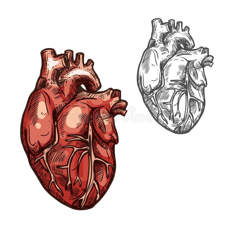 Icona umana di schizzo di vettore dell'organo del cuore royalty illustrazione gratis