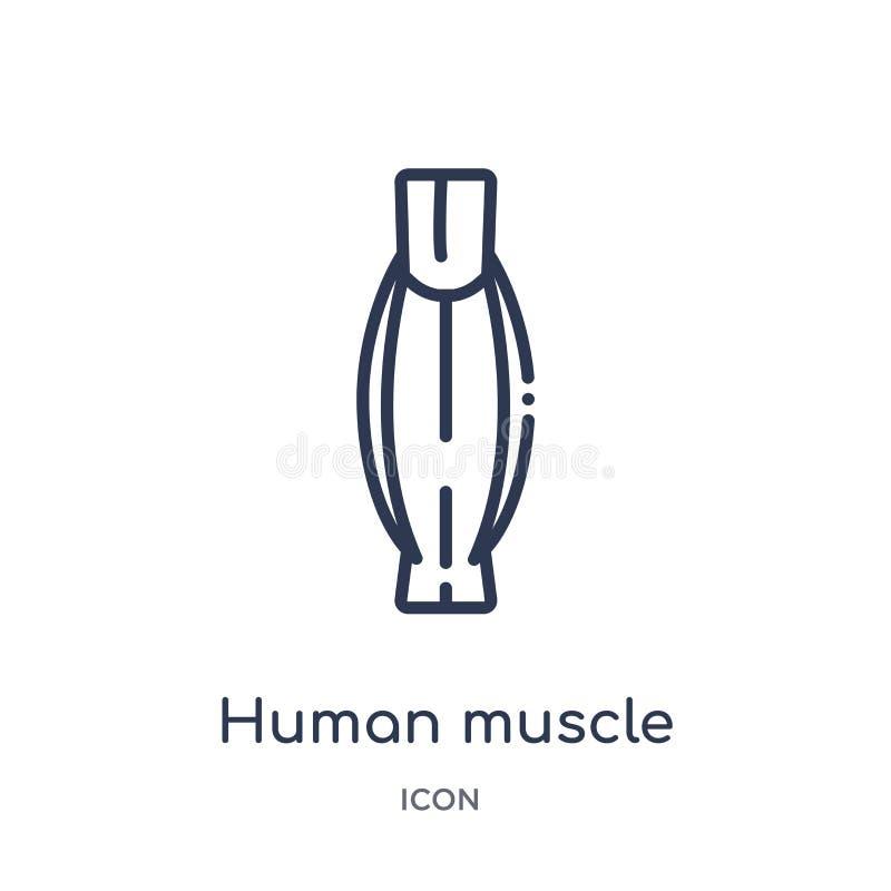 Icona umana lineare del muscolo dalla raccolta umana del profilo delle parti del corpo Linea sottile icona umana del muscolo isol illustrazione vettoriale