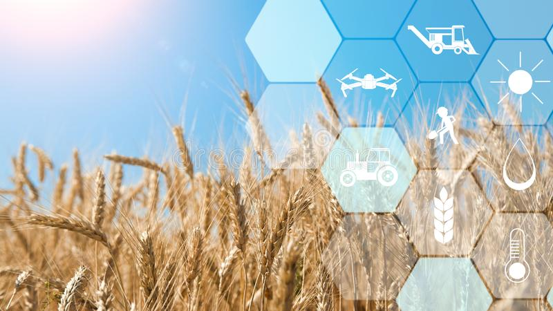 Icone della rete di agricoltura di precisione sul fondo del giacimento di grano fotografia stock libera da diritti