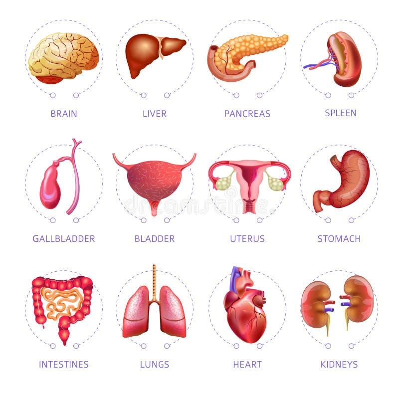 Icone di anatomia isolate piano medico di vettore degli organi interni del corpo umano messe illustrazione di stock