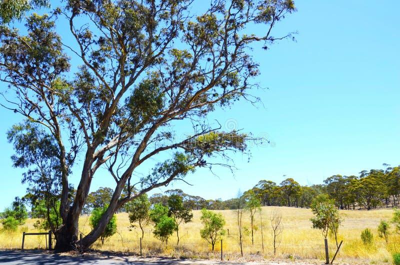 Iconic Australian landscape with large eucalyptus gumtree, South Australia. Iconic Australian landscape with large eucalyptus gumtree taken in the Barossa stock photo