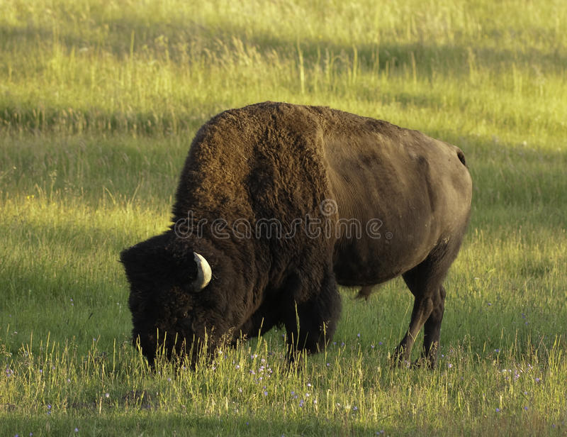Download Iconic Bison In Yellowstone Stock Image - Image: 10730471