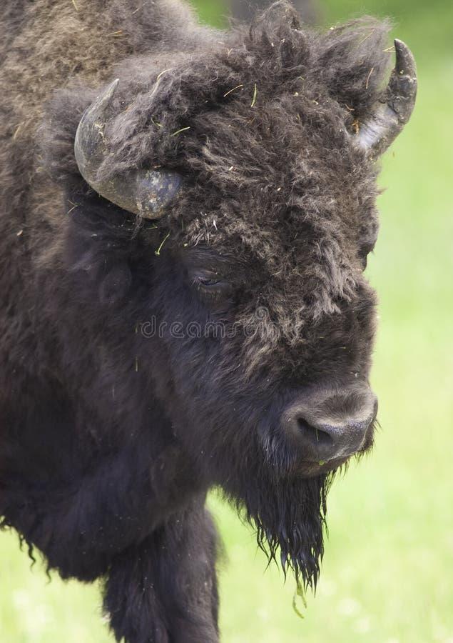 Iconic Buffalo Stock Photography