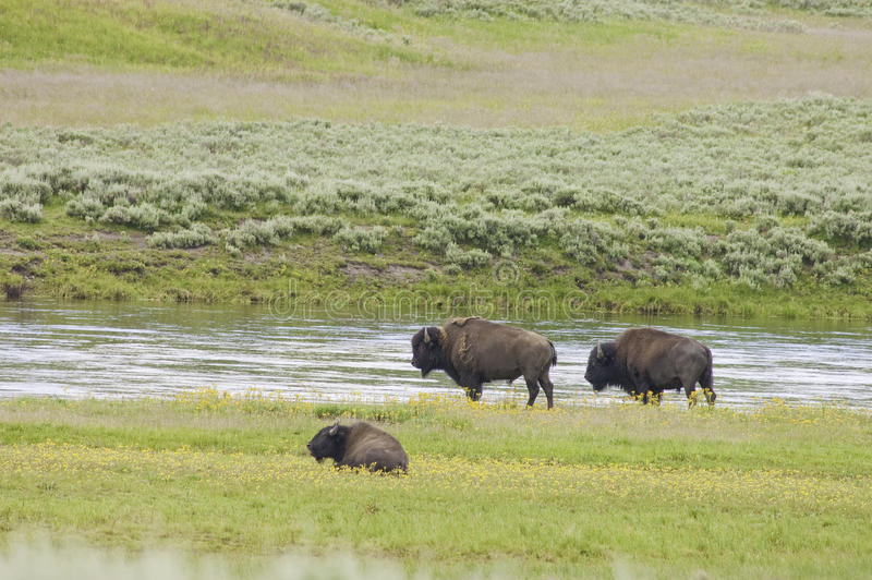 Download Iconic Buffalo Beside The Yellowstone River Stock Image - Image: 10407805