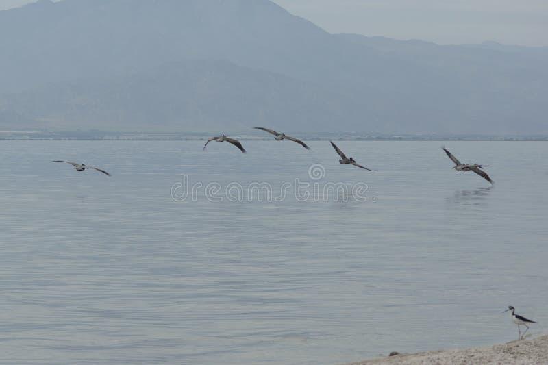 Pelicans in flight over the Salton Sea stock photos
