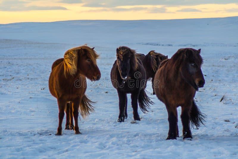 Iconic isländska hästar i snö, vintertid, Island royaltyfria bilder