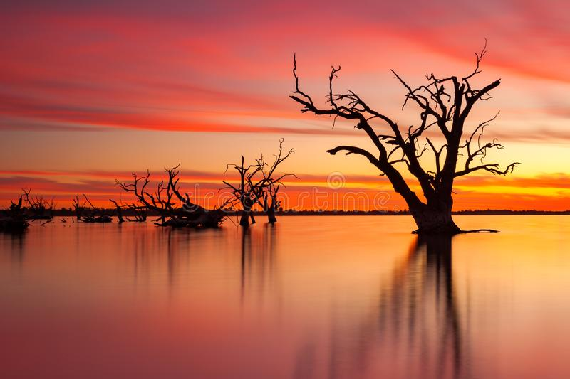 An iconic old dead redgum tree in Lake Bonney Barmera South Aus royalty free stock images
