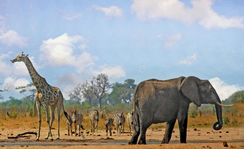 Iconic scenic view of an african waterhole with Elephant, Giraffe and Zebras, with a pale blue bright sky. Beautiful Iconic African vista with Giraffe, Zebra and royalty free stock photos
