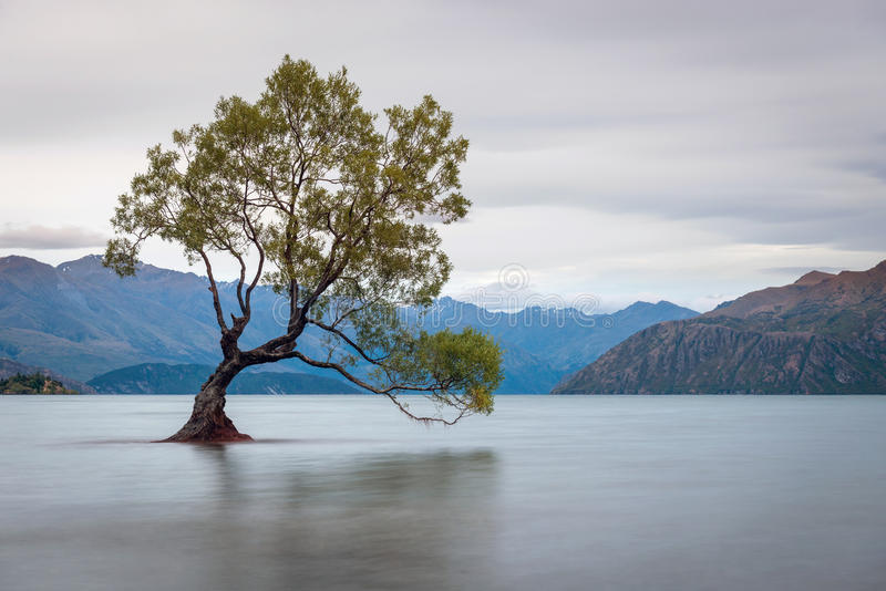 Iconic träd i Wanaka, Nya Zeeland royaltyfria foton