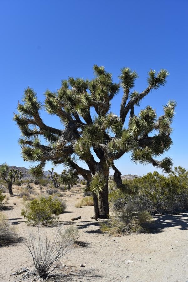 Iconisch Joshua Tree in de Mojave-Woestijn in Californië stock afbeeldingen