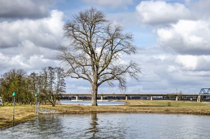 Iconische boom in Deventer royalty-vrije stock fotografie